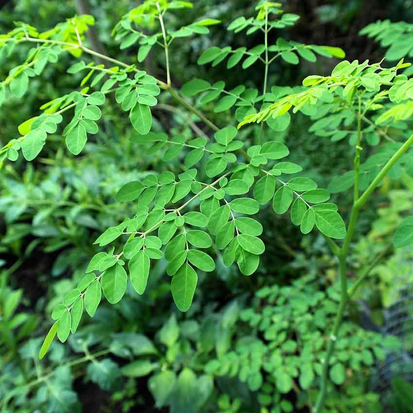 Moringa tree oil